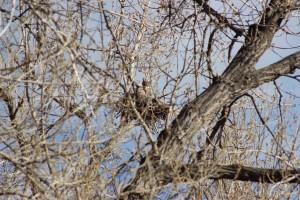 NestingOwl